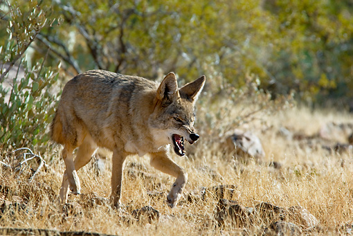 WLD 08 TL0021 01 © Kimball Stock Coyote Snarling And Walking In Field By Shrubs Southwestern Desert