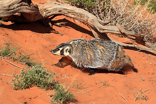 WLD 09 AC0001 01 © Kimball Stock American Badger Crawling Through Sandy Desert In Monument Valley, Utah, USA