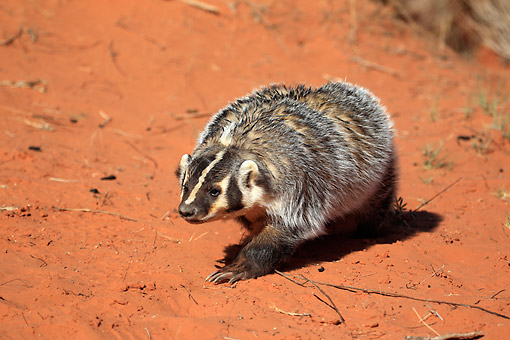 WLD 09 AC0002 01 © Kimball Stock American Badger Crawling Through Sandy Desert In Monument Valley, Utah, USA