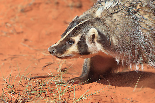 WLD 09 AC0003 01 © Kimball Stock American Badger Crawling Through Sandy Desert In Monument Valley, Utah, USA