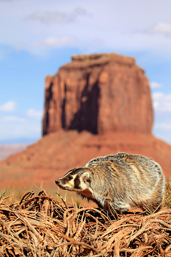 WLD 09 AC0004 01 © Kimball Stock American Badger Standing In Monument Valley, Utah, USA