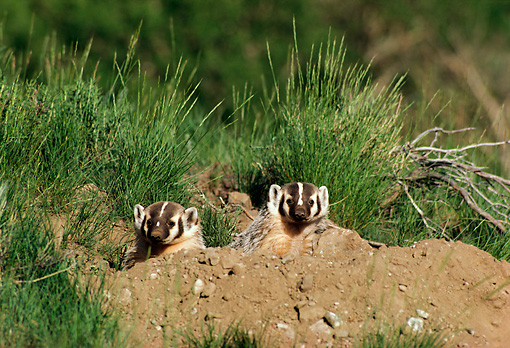 WLD 09 TL0001 01 © Kimball Stock Two Young Badgers Peering From Den With Grass And Dirt