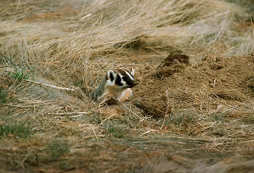 WLD 09 TL0002 01 © Kimball Stock Head Shot Of Badger Peering From Den Surrounded By Grass