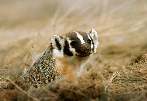 WLD 09 TL0003 01 © Kimball Stock Head Shot Of Badger Peering From Den Surrounded By Grass