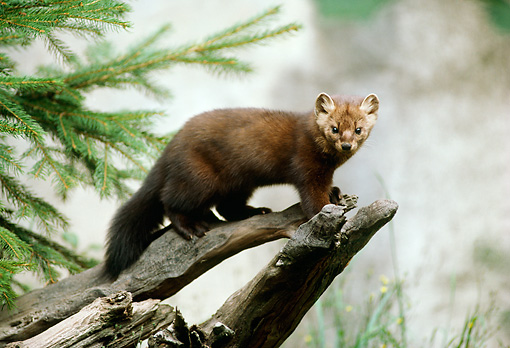 WLD 09 TL0005 01 © Kimball Stock Profile Of American Marten Standing On Log Near Evergreen Tree