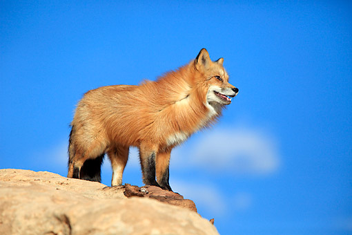 WLD 11 AC0007 01 © Kimball Stock American Red Fox Standing On Rock In Monument Valley, Utah, USA