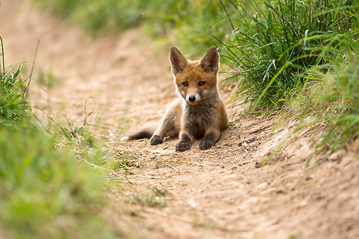WLD 11 AC0019 01 © Kimball Stock Red Fox Cub Walking Laying On Trail