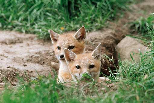 WLD 11 BA0003 01 © Kimball Stock Two Swift Fox Kits Laying In In Grass Field