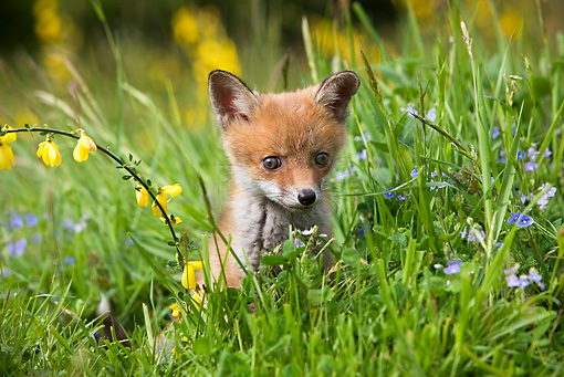 WLD 11 GL0001 01 © Kimball Stock Red Fox Kit Sitting In Grass And Wildflowers