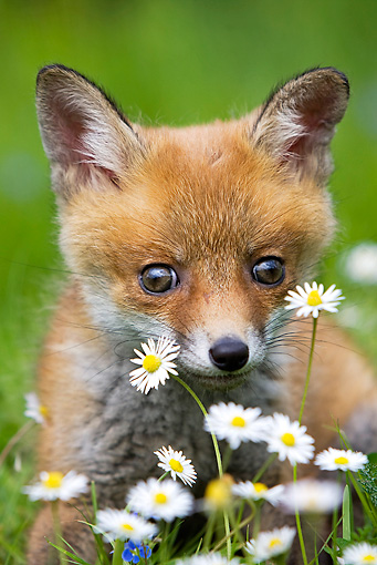 WLD 11 GL0002 01 © Kimball Stock Red Fox Kit Sitting In Grass And Daisies