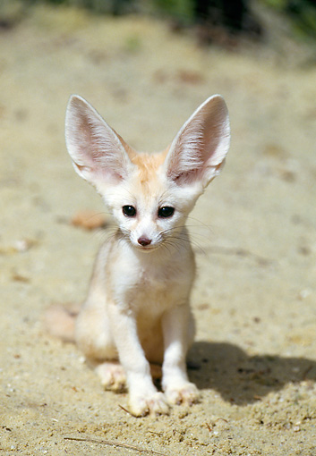 WLD 11 GL0004 01 © Kimball Stock Portrait Of Fennec Fox Sitting On Sand