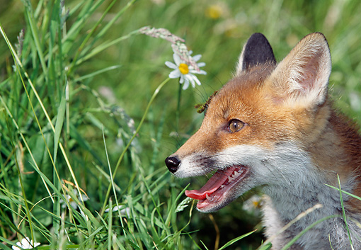 WLD 11 GL0007 01 © Kimball Stock Head Shot Red Fox In Field Of Wildflowers