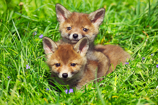 WLD 11 GL0010 01 © Kimball Stock Two Red Fox Kits Laying In Grass And Wildflowers