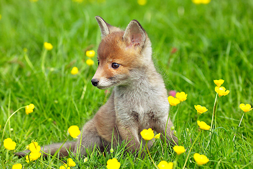 WLD 11 GL0011 01 © Kimball Stock Red Fox Kit Sitting In Grass And Buttercups