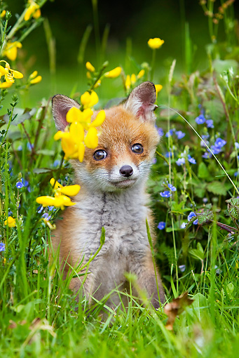 WLD 11 GL0012 01 © Kimball Stock Red Fox Kit Sitting In Grass And Wildflowers