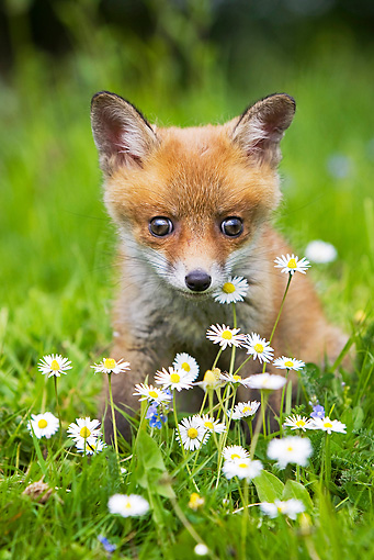 WLD 11 GL0013 01 © Kimball Stock Red Fox Kit Sitting In Grass And Daisies