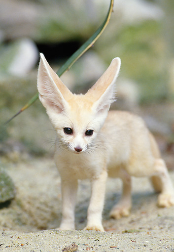WLD 11 GL0014 01 © Kimball Stock Fennec Fox Standing On Sand