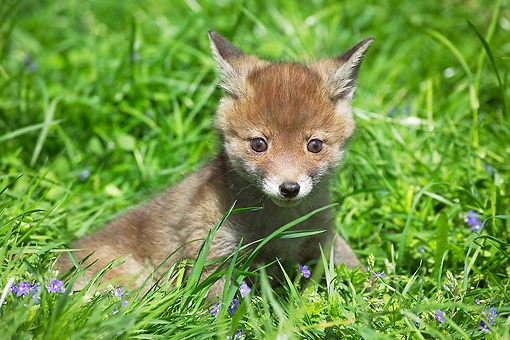 WLD 11 GL0015 01 © Kimball Stock Red Fox Kit Sitting On Grass