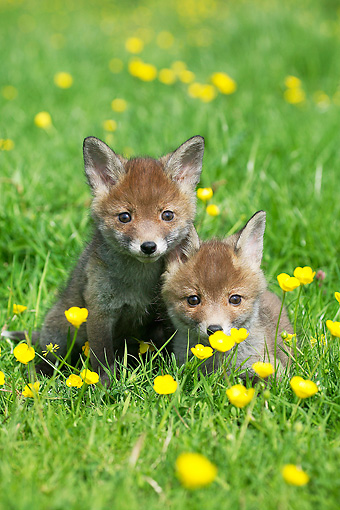 WLD 11 GL0016 01 © Kimball Stock Two Red Fox Kits Sitting In Field Of Buttercups