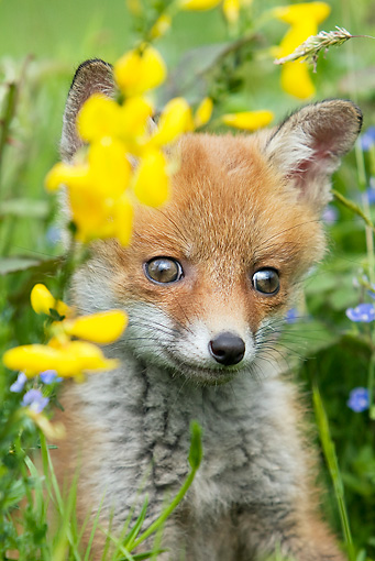 WLD 11 GL0018 01 © Kimball Stock Close-Up Of Red Fox Kit Sitting In Grass By Yellow Flowers