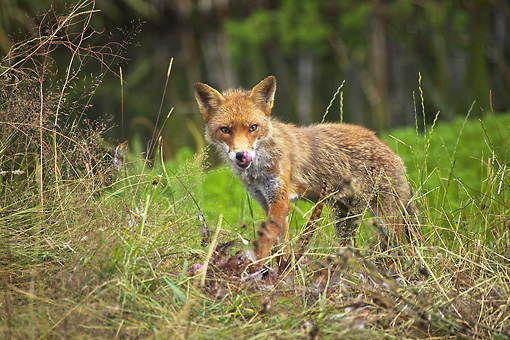 WLD 11 GL0021 01 © Kimball Stock Red Fox Standing In Meadow With Kill Normandy