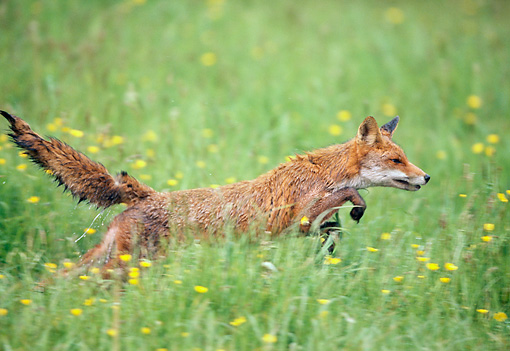 WLD 11 GL0022 01 © Kimball Stock Red Fox Hunting In Grass And Wildflowers