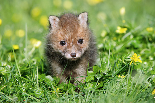 WLD 11 GL0023 01 © Kimball Stock Red Fox Pup Sitting In Wildflowers, Normandy