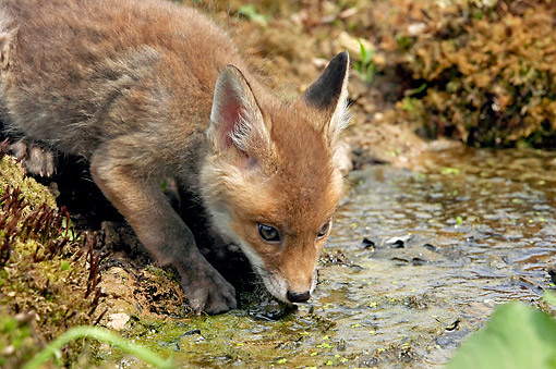 WLD 11 GL0024 01 © Kimball Stock Red Fox Pup Drinking Water, Normandy