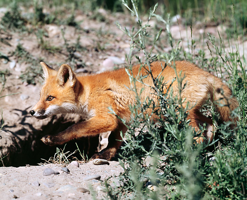 WLD 11 JZ0002 01 © Kimball Stock Portrait Of Red Fox Walking On Dirt Profile
