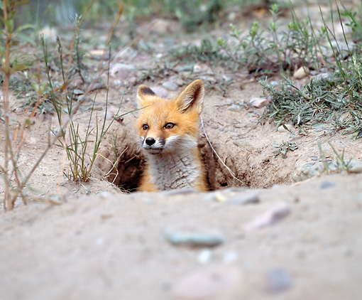 WLD 11 JZ0005 01 © Kimball Stock Portrait Of Red Fox Peeking Head Out Of Hole In Ground