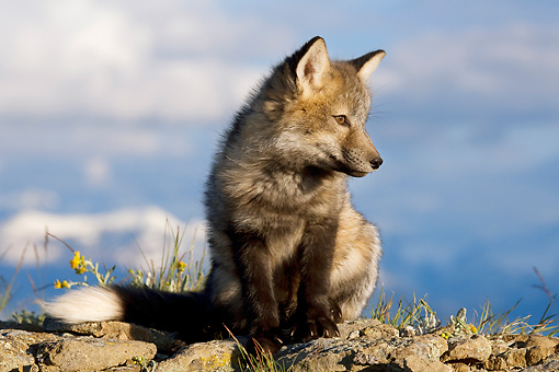 WLD 11 KH0006 01 © Kimball Stock Young Red Fox Sitting On Rock