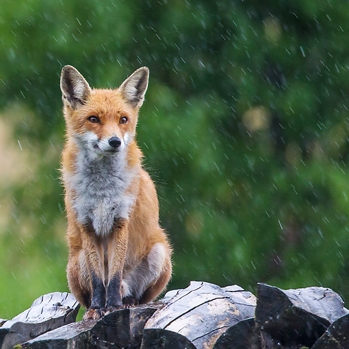 WLD 11 KH0011 01 © Kimball Stock Red Fox Male Sitting On Woodpile In Rain France
