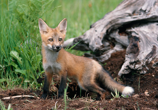 WLD 11 MC0001 01 © Kimball Stock Red Fox Standing By Log And Tall Grass