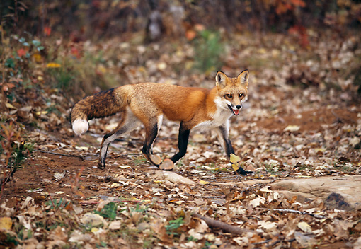 WLD 11 RK0020 01 © Kimball Stock Red Fox Walking On Dirt
