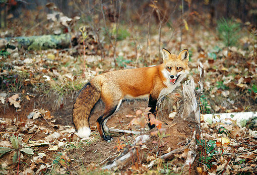 WLD 11 RK0020 10 © Kimball Stock Red Fox Walking On Dirt