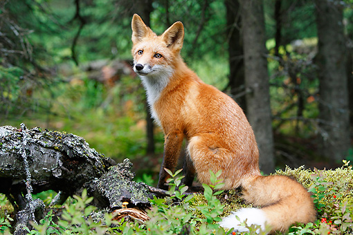 WLD 11 WF0005 01 © Kimball Stock Young Red Fox Sitting On Mossy Log In Forest