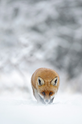 WLD 11 WF0010 01 © Kimball Stock Portrait Of Red Fox Walking Through Snow
