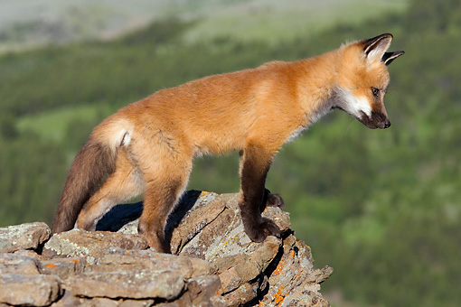 WLD 11 KH0003 01 © Kimball Stock Red Fox Kit Standing On Rocks Looking Down