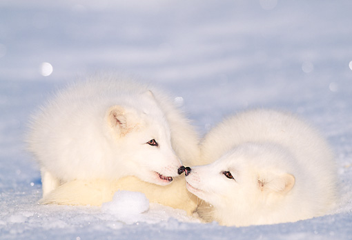 WLD 11 LS0001 01 © Kimball Stock Arctic Fox Greeting Arctic Fox Laying On Snow