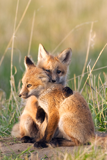 WLD 11 NE0003 01 © Kimball Stock Two Red Fox Kits Sitting And Hugging In Field