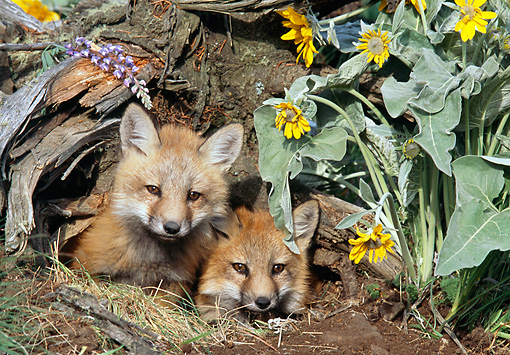 WLD 11 NE0005 01 © Kimball Stock Two Red Fox Kits Peeking Out Of Den