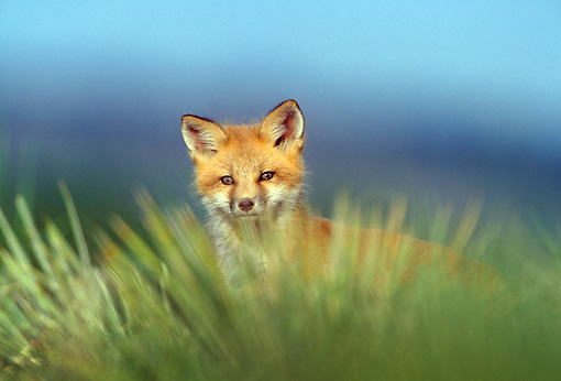 WLD 11 RF0002 01 © Kimball Stock Red Fox Pup Standing In Field By Den