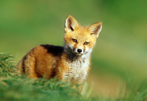 WLD 11 RF0003 01 © Kimball Stock Red Fox Pup Standing In Field By Den