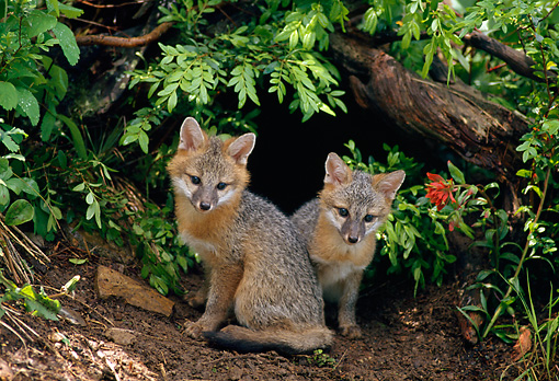 WLD 11 RF0004 01 © Kimball Stock Two Gray Fox Pups Sitting At Entrance To Den
