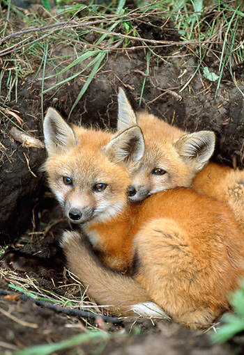 WLD 11 RF0005 01 © Kimball Stock Two Red Fox Pups Huddling At Entrance To Den