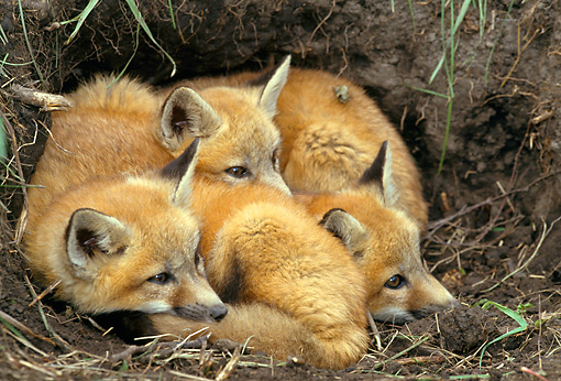 WLD 11 RF0006 01 © Kimball Stock Three Red Fox Pups Huddling At Entrance To Den