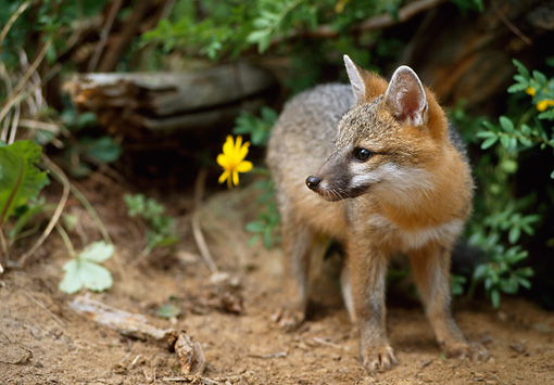 WLD 11 RW0001 01 © Kimball Stock Gray Fox Kit Standing On Forest Floor By Log And Yellow Flower