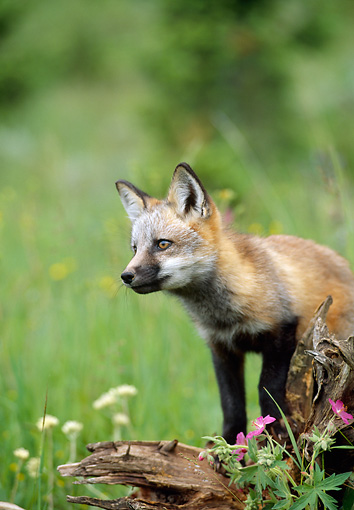 WLD 11 RW0002 01 © Kimball Stock Red Fox Kit Standing On Log In Field