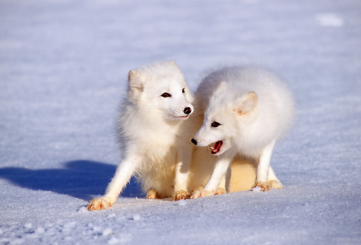 WLD 11 TK0001 01 © Kimball Stock Two Arctic Foxes Playing On Snow