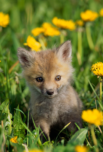 WLD 11 TL0001 01 © Kimball Stock Portrait Of Red Fox Pup In Flower Field